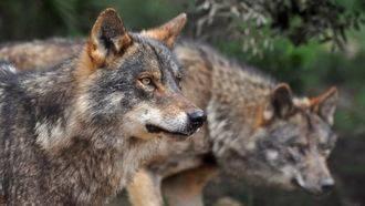Denuncian nuevos ataques de lobos en la Sierra Norte de Guadalajara mientras la Junta de Page no paga lo que debe