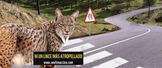 Muere atropellado un nuevo ejemplar de lince ibérico en la Autovía A-4 de Ciudad Real