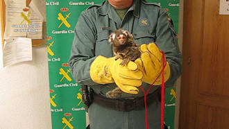La Guardia Civil junto con policías locales interviene un mono titi en plena calle en Toledo