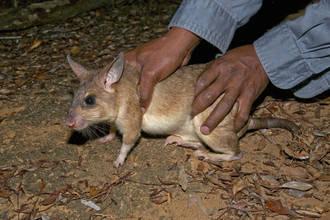 HORRIBLE: Unas ratas gigantes devoran a un bebé mientras su madre estaba de copas
