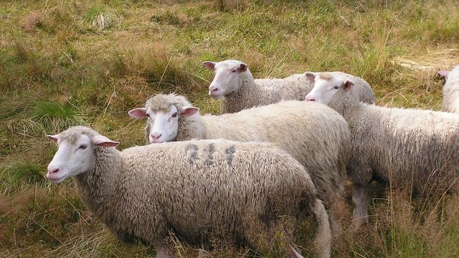 Detenido por robar 237 ovejas