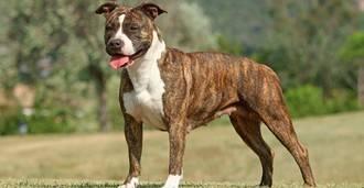 Denunciado el dueño de dos perros catalogados como peligrosos por llevarlos sueltos y sin bozal