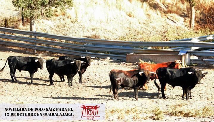 Desembarcados y aprobados ocho novillos de Polo Sáiz para la sin caballos en Guadalajara