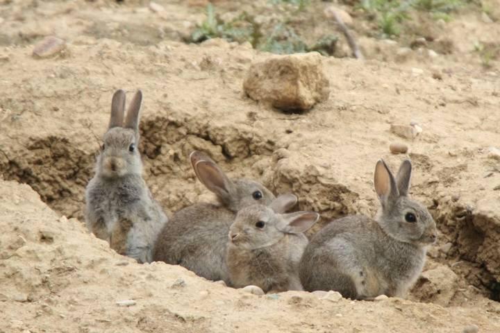 """Los agricultores de Castilla-La Mancha claman contra la """"ineficacia"""" de la Junta ante la plaga de conejos"""