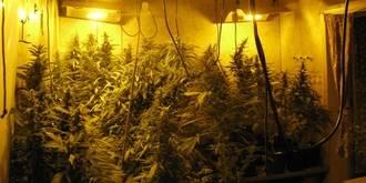Un chalet de Torrejón del Rey escondía el cultivo de 547 plantas de marihuana