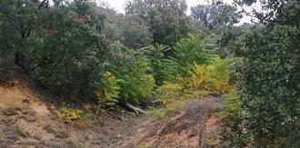Buscan voluntarios para acabar este sábado con las plantas de ailanto que han invadido Valdenazar