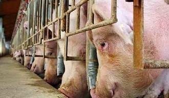 Los vecinos de Gamonal (Talavera) rechazan la instalación de una granja porcina