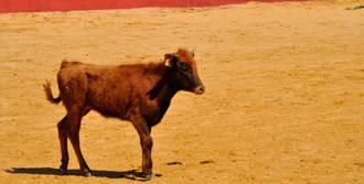 Ingresado un hombre de 43 años por la cogida de una vaquilla en una capea en Casarrubios del Monte