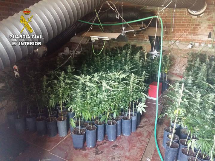 Incautan 631 plantas de marihuana en una vivienda unifamiliar de Uceda