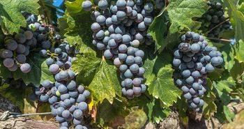 """Ya es un hecho, la cosecha de Rioja 2016, calificada como """"muy buena"""""""
