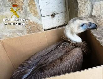 La Guardia Civil recupera un buitre leonado en Sacecorbo