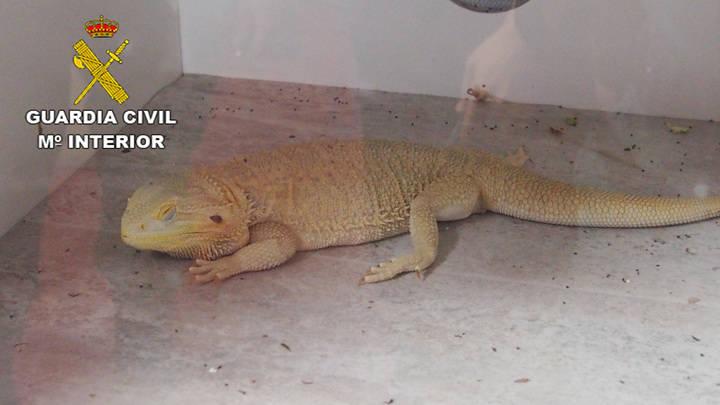 La Guardia Civil 'pilla' a un azudense vendiendo reptiles ilegalmente