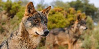 El ataque de un lobo causa graves daños en una explotación de Majaelrayo