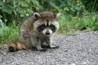Aparece una cría de mapache en los campos de Fontanar