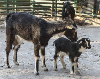 Nace en el zoo de Guadalajara un ejemplar de cabra de Guadarrama, raza autóctona en peligro de extinción