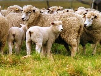 Bruselas declara a Albacete, Cuenca y Guadalajara libres de brucelosis ovina