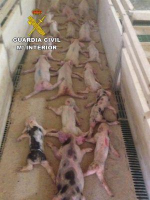 15 meses de prisión por matar a 79 lechones saltando sobre ellos