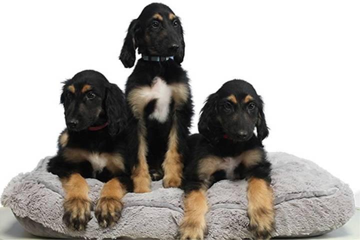 Clonan tres veces al primer perro clonado