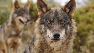 Condenan a la Junta a indemnizar con más de 5.000 euros a un ganadero de Guadalajara por los ataques de lobos