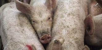 Convocan una concentración en Priego contra las macrogranjas de cerdos