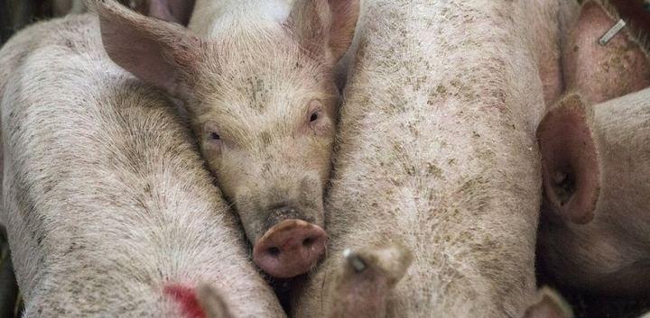 """Ecologistas en Acción considera un """"grave error"""" el informe ambiental favorable a la macrogranja de cerdos de Luzón"""