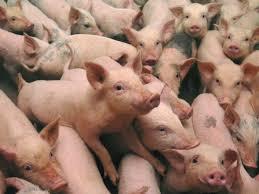 Advierten a la Confederación Hidrográfica del Guadiana de los riesgos de una macrogranja de cerdos en Almendros (Cuenca)