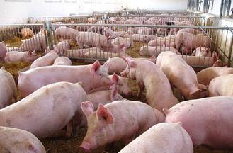 Luz verde ambiental para una macrogranja de 2.000 cerdos en el término de Luzón