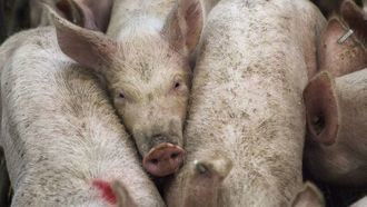 El TSJCM anula una autorización para instalar una macrogranja de cerdos en Cuenca