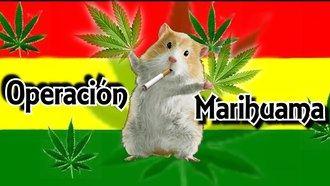 Desaparecen 540 kilos de marihuana y la policía echa la culpa...¡a las ratas!