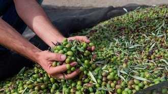 La exportación de aceituna negra española a EEUU se desploma un 42% hasta marzo