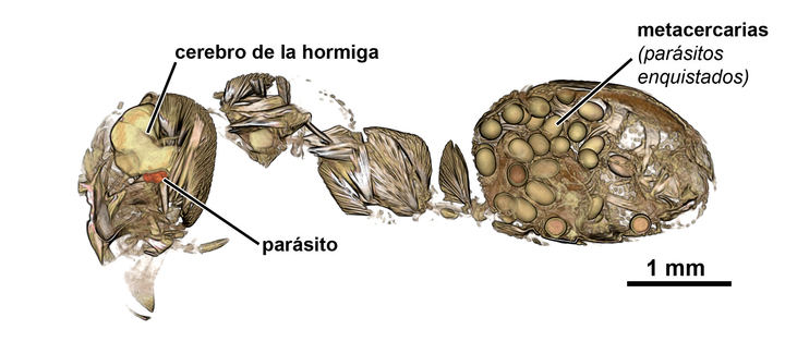 Un estudio, liderado por un investigador de la UAH, explica cómo un gusano parásito se aloja en el cerebro de las hormigas y las convierte en 'zombis'