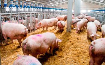 Presentarán alegaciones contra la construcción de una macrogranja de cerdos en Mota del Cuervo