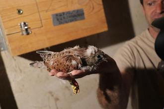 Los niños de Quer anillan los polluelos de primilla nacidos en cautividad en 2018