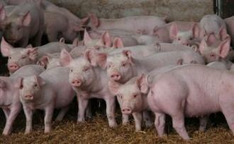 Mazuecos podría acoger otra macrogranja de cerdos con casi 2.000 cabezas