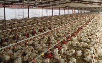 Se oponen a la instalación de dos granjas avícolas de 66.000 pollos de engorde en Cuenca