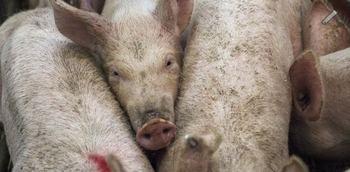 Paralizan la instalación de dos macrogranjas porcinas en Toledo