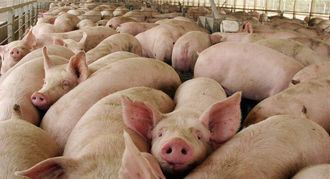 Alertan de que quieren colocar una macrogranja de cerdos muy cerca del Parque de Segóbriga