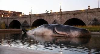 Un cachalote de 15 metros aparece este viernes varado en el Manzanares