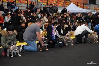 Hasta 170 perros American Bully de España y Europa compiten este sábado en el 'ValdeluzRumble'