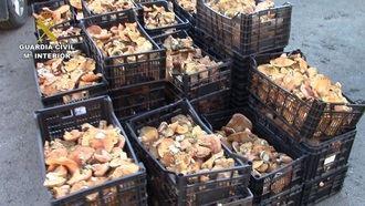Los agentes medioambientales decomisan un cargamento de 160 kilos de níscalos en Guadalajara