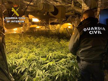 La Guardia Civil de Guadalajara incauta 844 plantas de marihuana en Hontoba