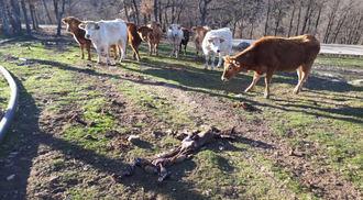 Los ganaderos asustados y el ganado violento por el aumento de ataques de lobos en la Sierra Norte de Guadalajara