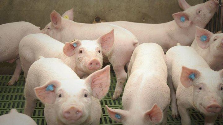 """Denuncian que una granja de cerdos de Almonacid del Marquesado funciona sin autorización y acusan a la Junta de """"dejación de funciones"""""""