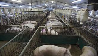 Ecologistas en Acción prsenta alegaciones a la ampliación de la Macrogranja de cerdos de Illana