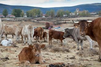 """Reclaman a la Junta que el ganado sacrificado por tuberculosis """"no suponga la ruina de los ganaderos"""""""