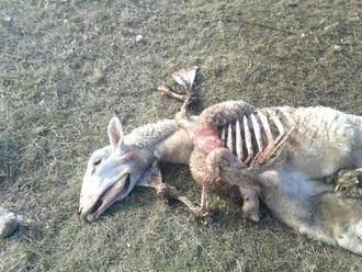 Siguen los ataques de los lobos al ganado de la Sierra de Guadalajara