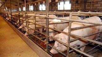 Los cerdos se hacen fuerte en un pueblo de Cuenca : La Junta de Page autoriza a ampliar una explotación porcina de 2.000 a 4.000 cabezas