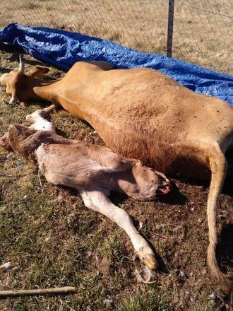 ASAJA demanda a la Junta una mejor gestión de los muladares para evitar el ataque de los buitres al ganado de Guadalajara