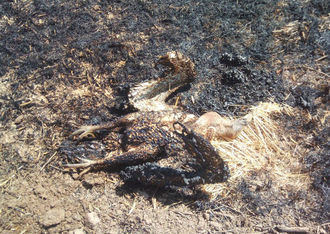 Un buitre electrocutado provoca un incendio en Muduex