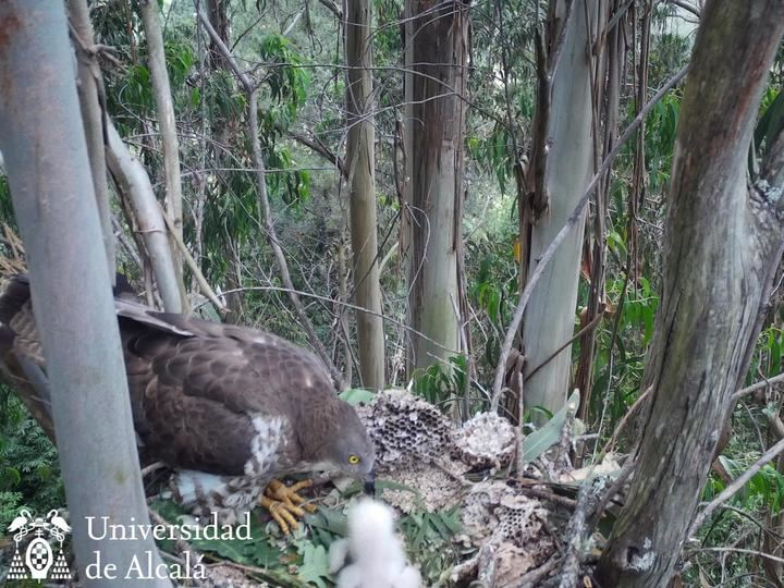 La UAH trabaja en una investigación sobre el abejero europeo, ave depredadora autóctona clave para el control biológico de la avispa asiática